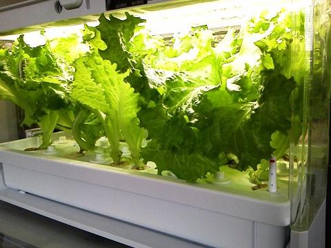 レタスの水耕栽培20130817