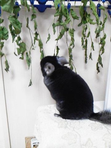 加奈ちゃん、乾燥中の桑の葉を盗み食い!?