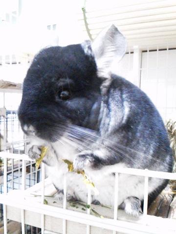 加奈ちゃん、乾燥パパイヤの葉を食べる