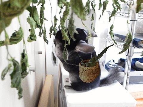 加奈ちゃん、桑の葉を収穫!?