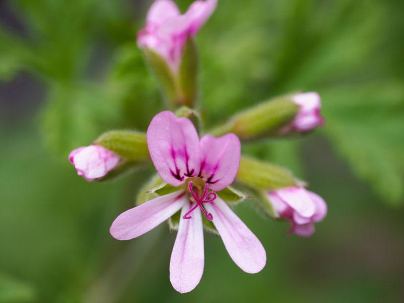 rosezeranium0416.jpg