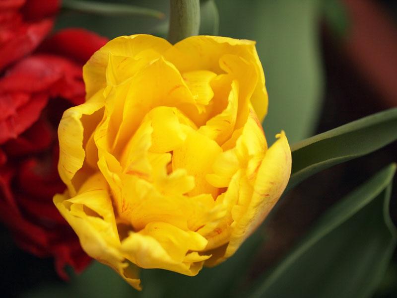 tulip0416.jpg