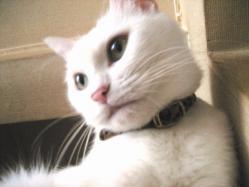 白猫ちょび