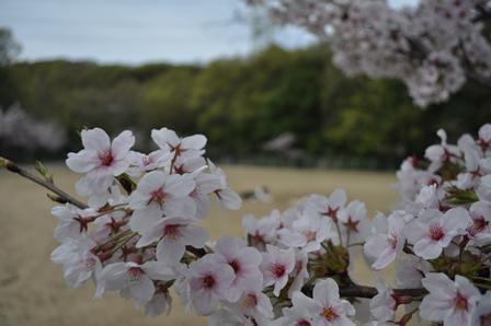 DSC_0082最後の桜