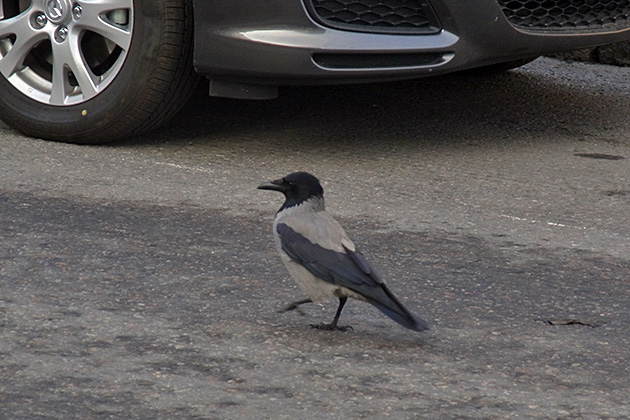 20111110hooded_crow.jpg