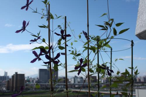 エフレガミナ2番花