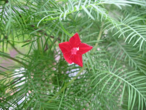 チョウセンアサガオの花