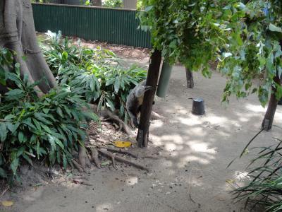 コアラ上る