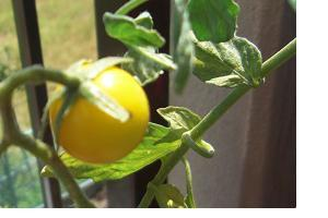 黄色いトマト☆