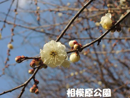 130211-16ume(sagamihara).jpg