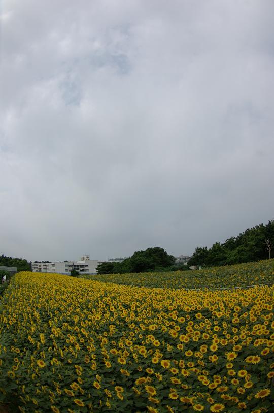 130727-06himawari04.jpg