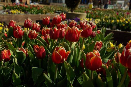 130223-21P tulipa01