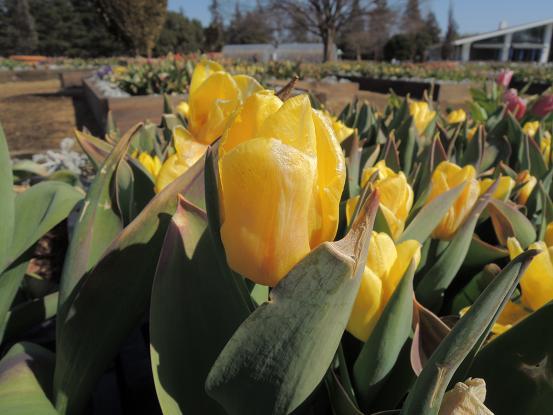 130223-22N tulipa02