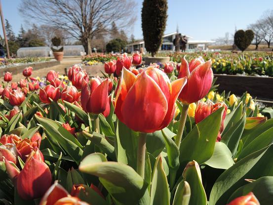 130223-23N tulipa03