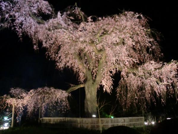 カウチサーフィン(ロシア・モスクワ、ロニとドミトリ)、円山公園のしだれ桜。