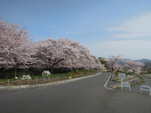 嵐山・桂川サイクリングロードの桜