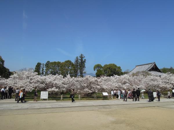 仁和寺の御室桜。