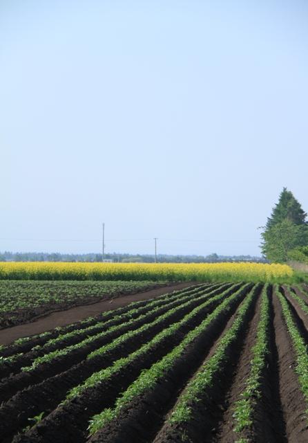 034ジャガイモ畑と菜の花