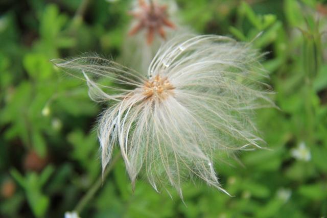 004チョウノスケソウの綿毛