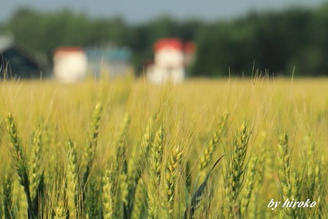 030小麦の穂