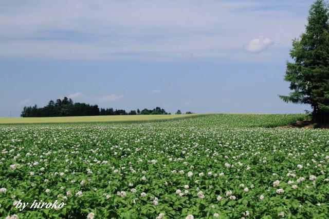 241ジャガイモ畑と小麦畑