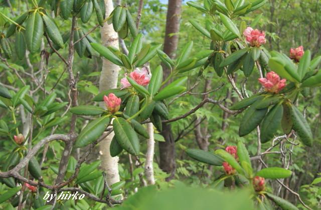 094石楠花