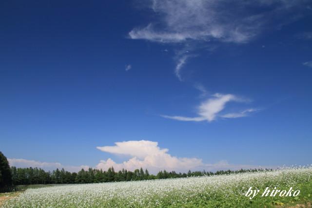 037大根の花と青い空
