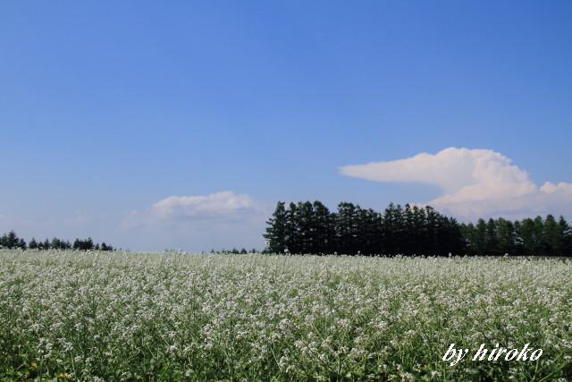 039大根の花