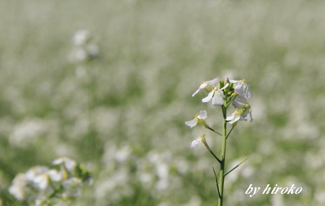 044大根の花