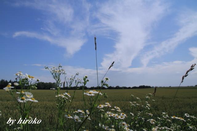 022ヒメジョオンと小麦畑
