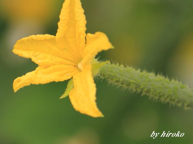040キュウリの花