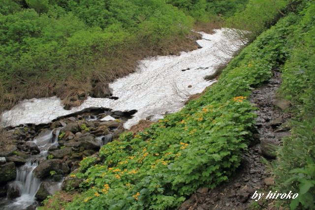 021登山道に咲くエゾリュウキンカ