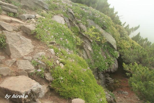 158芸術のような岩場に咲くイワブクロ