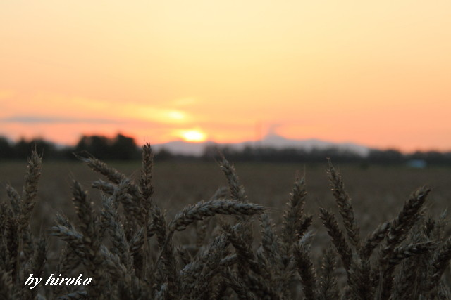 026小麦