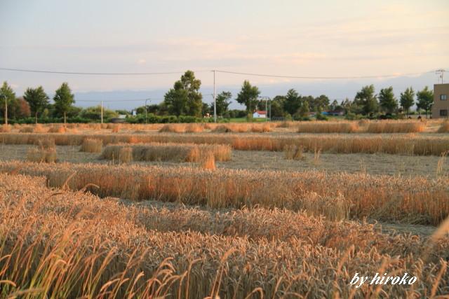 006夕陽に染まる小麦畑