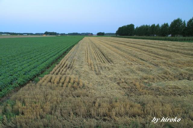 041刈り取り後の小麦畑