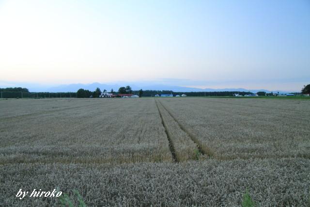 039刈り取りを待つ小麦畑