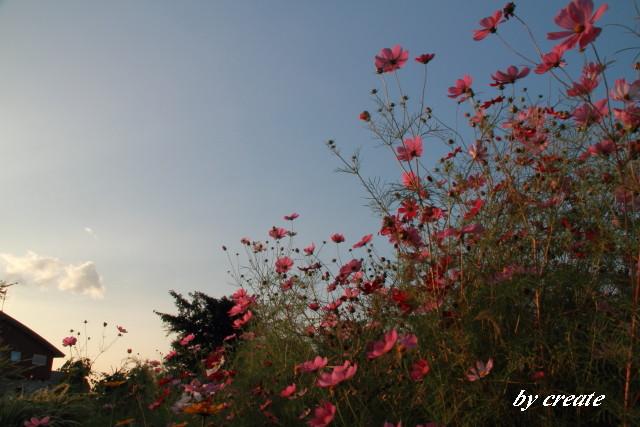 017夕陽に染まる秋桜