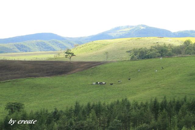 085放牧の牛