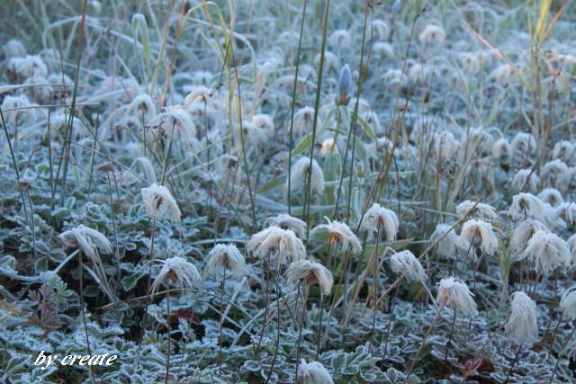029霜の付いたチングルマの綿毛や葉
