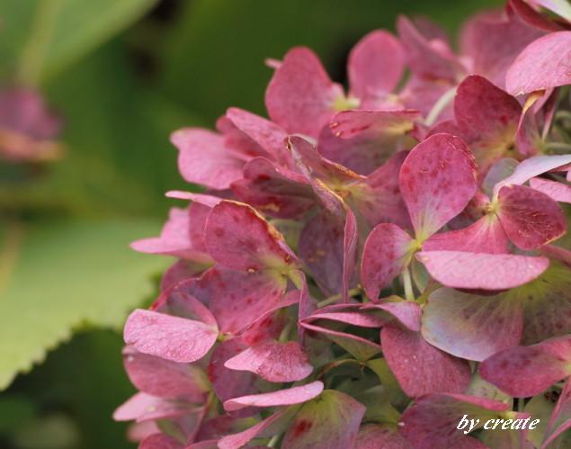 001紫陽花