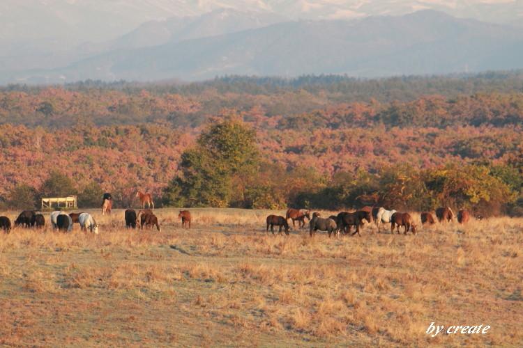 157朝陽の中、草を食む馬たち