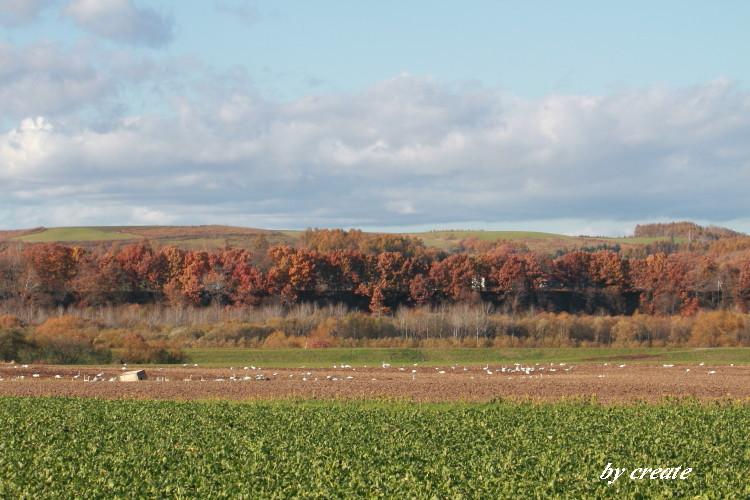 008畑で餌を啄ばむ白鳥たち