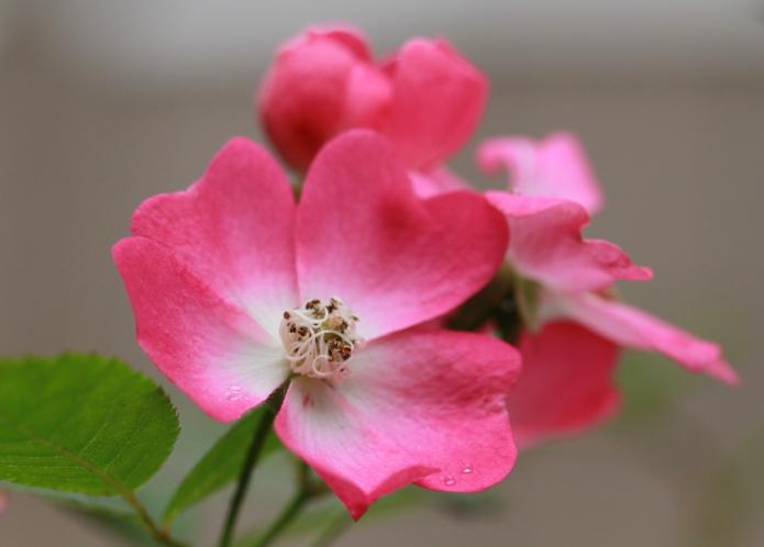 DPP 027 寒さの中で咲いているバ0001