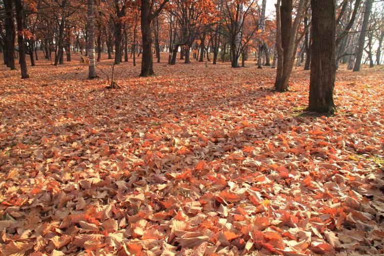 DPP 652 鈴蘭公園の柏の落ち葉0001