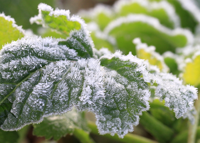 DPP 035 大根の葉に咲いた霜の花0001