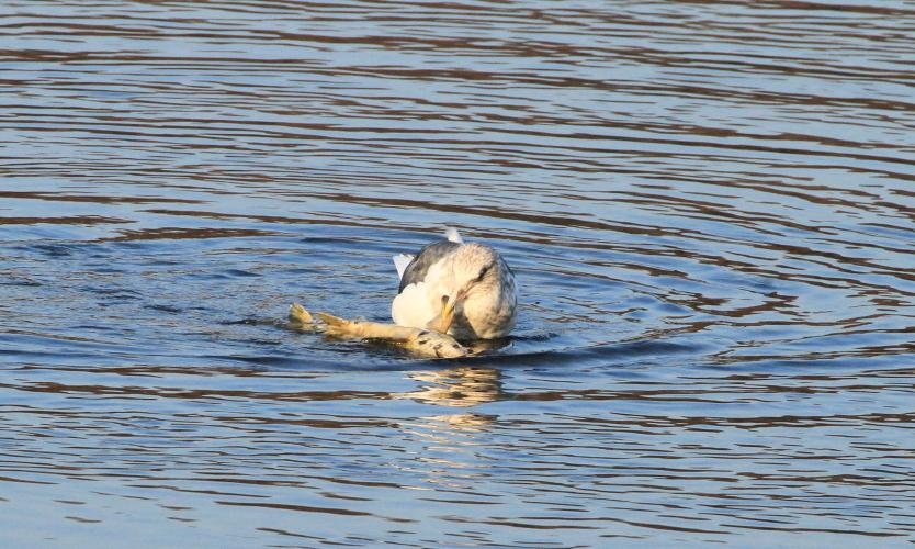DPP 039 鮭を食べているカモメ0001