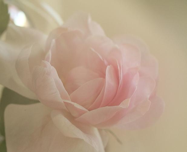 029美しいバラ