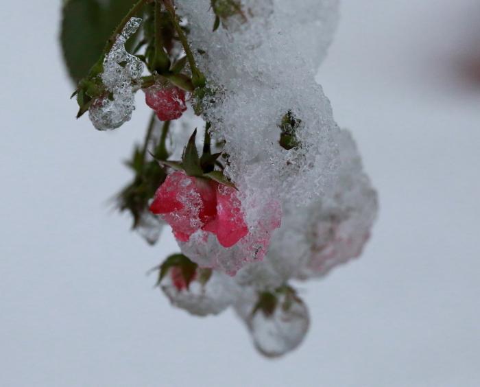 DPP 136 雪を被ったバラ0001