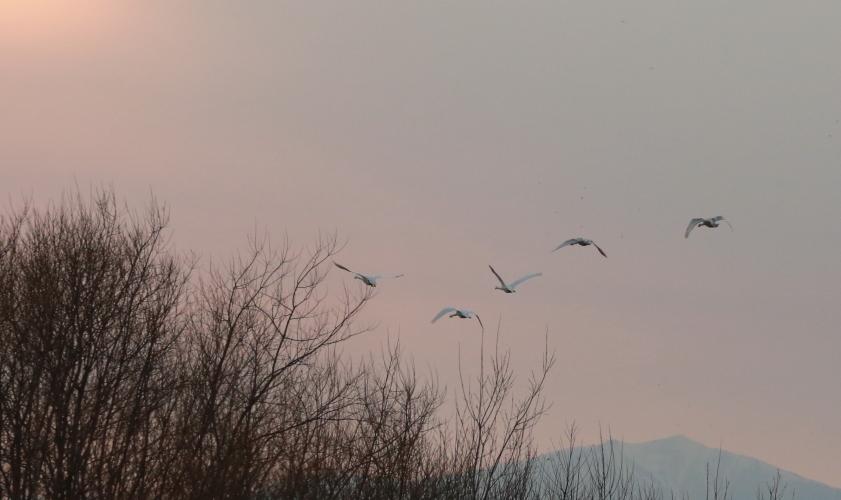 DPP 462 夕焼け空に白鳥さん0001
